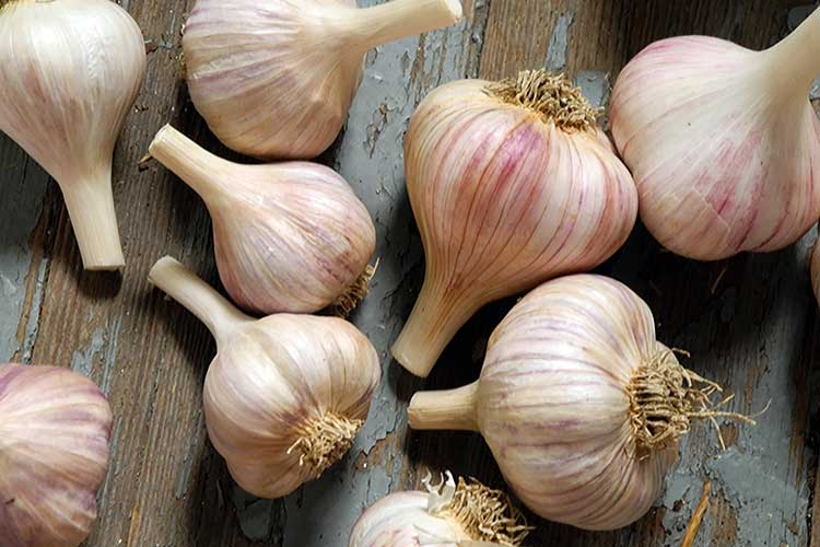 garlic winter crops1 big